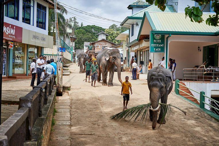 Dagelijks gaan de olifanten van de opvang in Pinnawala badderen in de rivier. Beeld Theo Stielstra