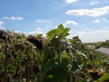 Lochems zonnebloemlint krijgt ondanks tegenslagen een groter vervolg