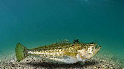 Lekkerste vis op ons bord, giftigste op het strand