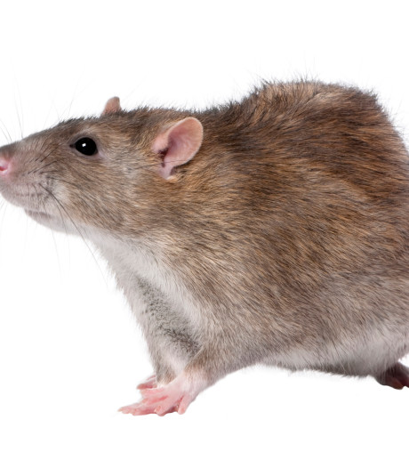 Gemeente IJsselstein start campagne tegen ratten