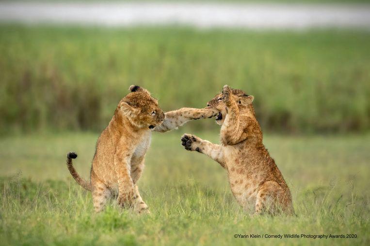 Heeft deze leeuwenwelp in Tanzania nog iets tussen de tanden steken? Dan is hulp van zijn vriendje meer dan welkom.
