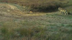 """Unieke foto van wolf August bij daglicht: """"Hij lijkt een echt vrijgezellenbestaan te leiden"""""""