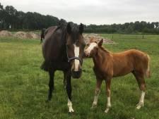 'Maniak' verminkt paard met mes in Wanneperveen