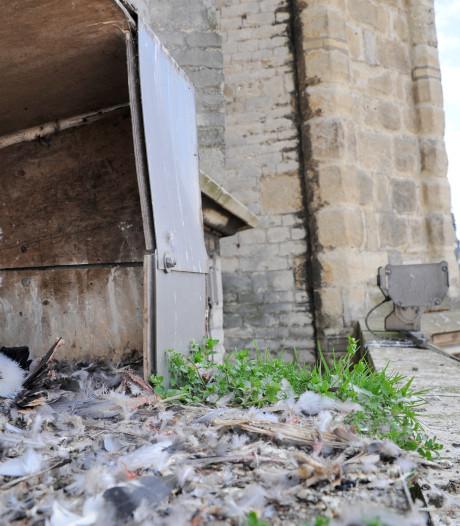 Slechtvalken van Sint-Baafskathedraal krijgen camera's