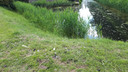 De plek waar de zwanenjongen werden gestolen, volgens Anita de Harde. Er liggen nog veren.