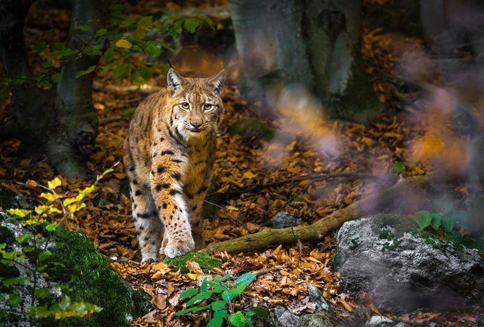 Een lynx, overigens niet degene die is aangetroffen in Niedersachsen.
