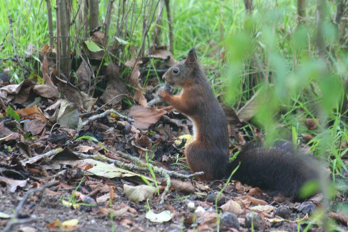 Deze eekhoorn zat in de tuin van Sander Boekhorst uit Groesbeek.