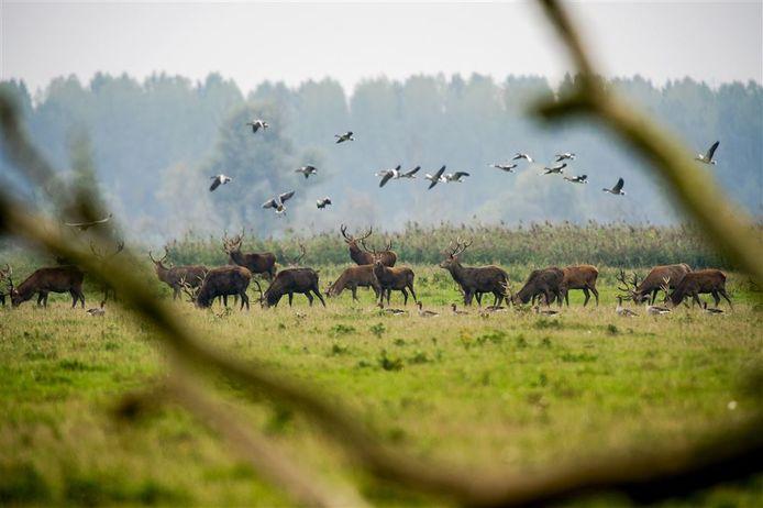 Edelherten in de Oostvaardersplassen, het aantal dieren moet flink omlaag als het aan adviseur Pieter van Geel ligt.