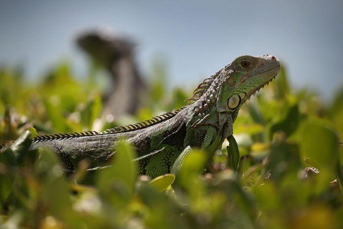 Onderzoekers van de universiteit van Florida slaan de reptielen met hun kop tegen een hard voorwerp, zoals een steen: 'De meest humane manier om ze te doden'.