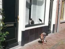 Brutale woestijnbuizerd zet Utrechtse Springweg op stelten. 'Hij zat te azen op mijn kat'