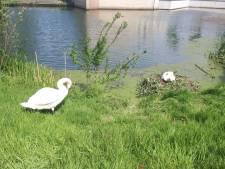 Onthoofd zwanenkuiken gevonden in Schothorst: 'Geen sporen van aanval door ander dier'