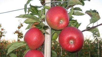 Nieuwe Belgische appel moet Jonagold doen vergeten