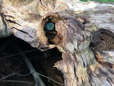 Holle boom van Golfclub Driene geveld: balletjes bevrijd dankzij storm