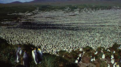 Mysterie voor biologen: waarom zijn er plotseling zo'n miljoen pinguïns van de aardbol verdwenen?