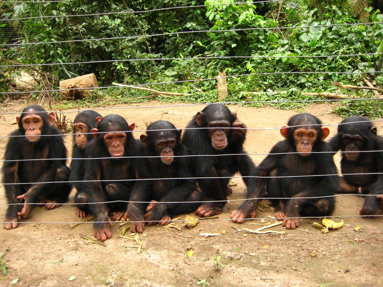 Jonge, verweesde chimpansees waarvoor Van Zijll Langhout zorgde in Mefoe National Park, Kameroen, 2007.  Beeld Prive album