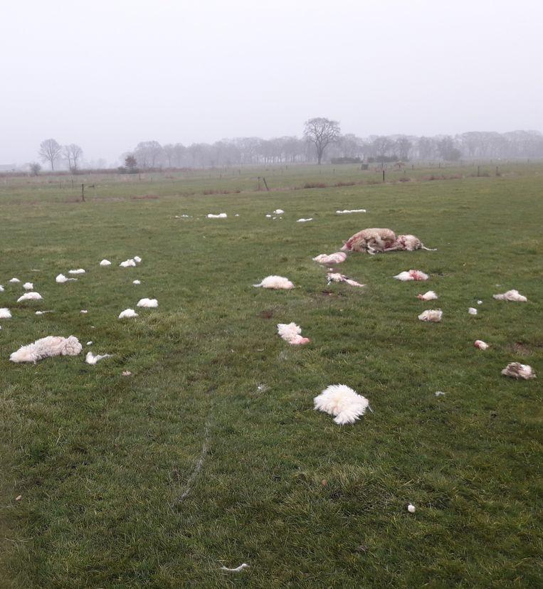 Afgelopen vrijdag werden in Wauberg bij Peer opnieuw twee doodgebeten schapen aangetroffen.