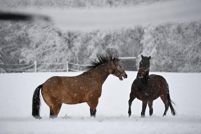 Paarden  in de sneeuw bij München.