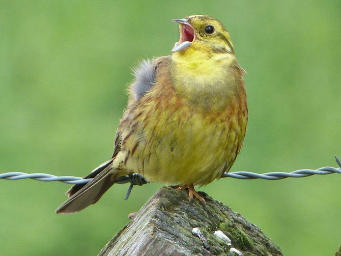 Een zindgend mannetje geelgors.