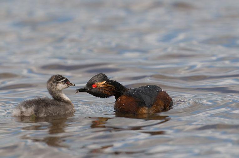 De geoorde fuut is een zeldzame vogel die in het vennengebied van de Groote Meer voorkomt.