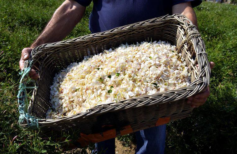 Jasmijn in Grasse, die wordt gebruikt als basis voor No. 5. Beeld afp