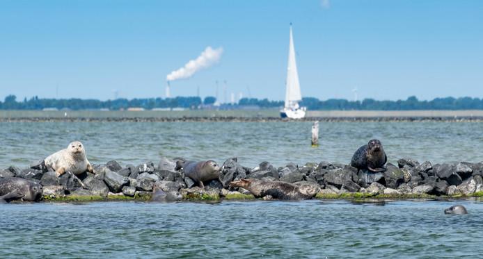 De strekdam naast de Stampersplaat puilt uit van de gewone zeehonden. Volgende maand wordt een geboortegolf verwacht en wordt het wellicht nog drukker