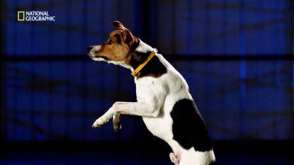Hoe komt het dat honden zo hoog kunnen springen?