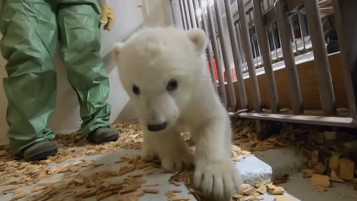 IJsbeertje van elf weken doet harten smelten in Berlijnse zoo