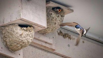 Huiszwaluwen nog steeds thuis in (enkele gemeenten van) de Rupelstreek
