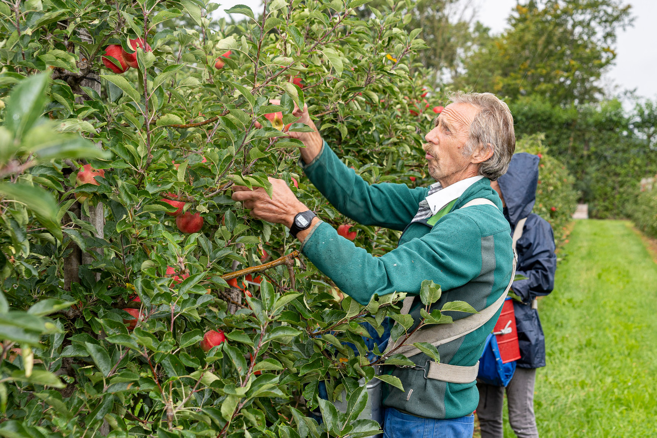Ko Louws plukt appels van het oude Discovery.