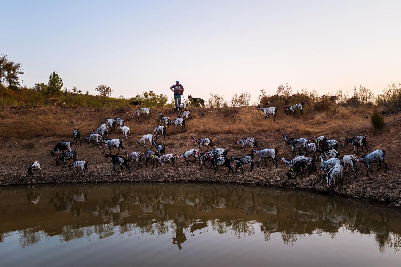 Leonel Martins Pereira kijkt vanaf een heuvel neer op zijn rondgrazende geiten.