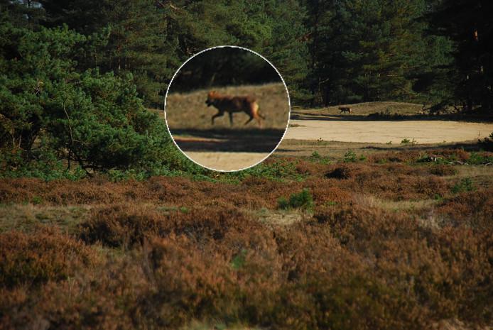 Karin van der Sluis legde een van de wolven op de Veluwe vast.