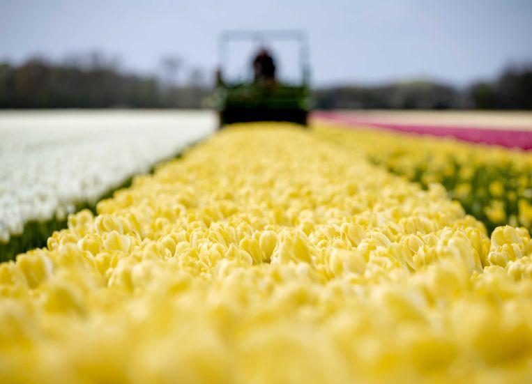 Een bollenkweker in Lisse haalt bloemen op de bollenvelden eerder weg. Beeld ANP