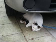 Kater Tijger aan koord vastgebonden onder auto