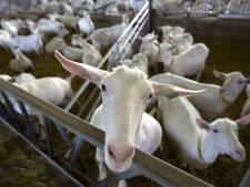 Zeeland telt in een jaar tijd meer melkgeiten