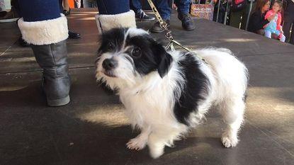 Hondje Cali verkozen tot Mooiste Zinneke van Brussel