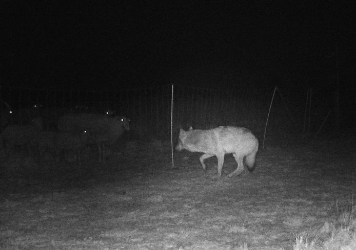 Een wolf op de Veluwe voor een elektrisch raster waar schapen achter staan.
