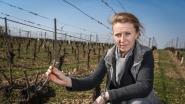 Nachtvorst doet wijnboeren en fruittelers pijn: 'In één nacht helft oogst kwijt'