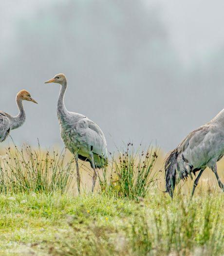 Kraanvogels broeden weer graag in Korenburgerveen