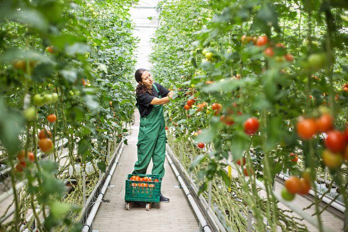 stockadr arbeidsmigrant arbeidsmigranten glasbouw kas kassen tomaten tomaat oogsten oogst werken seizoensarbeid