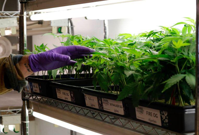 Een verkoper bij een selectie van cannabisplantjes in Oakland, Californië.
