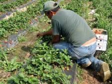 Meer arbeidsmigranten in grote boerderijen in Noordoostpolder