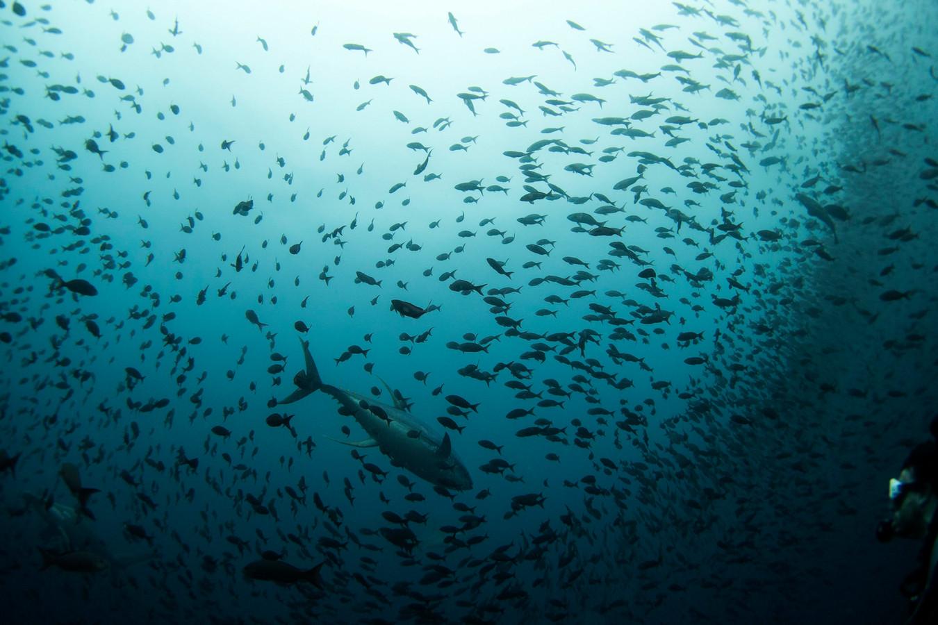 Een school tonijnen bij het Galapagos-reservaat.