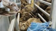 """Gaia klaagt Roemeens """"dodentransport"""" van schapen aan"""