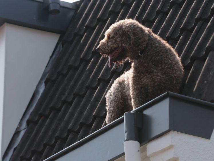 Eigenwijze hond belandt in dakgoot, Eindhovense brandweer rukt uit