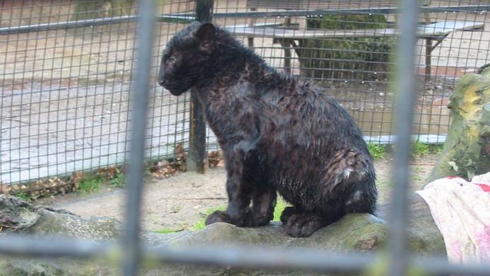 Een bij de moeder weggehaalde luipaardwelp, werd door de Olmense Zoo in een ronde kooi (langs alle kanten te benaderen door het publiek) geplaatst, zonder beschutting - met dit resultaat als het regent.