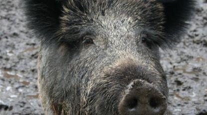 """Algemeen Boerensyndicaat waarschuwt voor """"zeer besmettelijke"""" Afrikaanse varkenspest"""