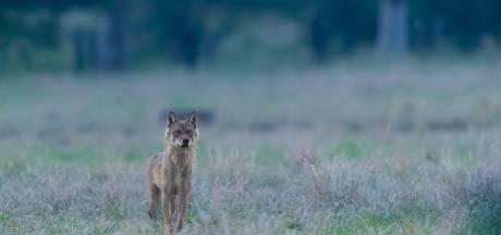 Wolf die toesloeg in de Achterhoek en Brabant 'doodgeschoten in Frankrijk'