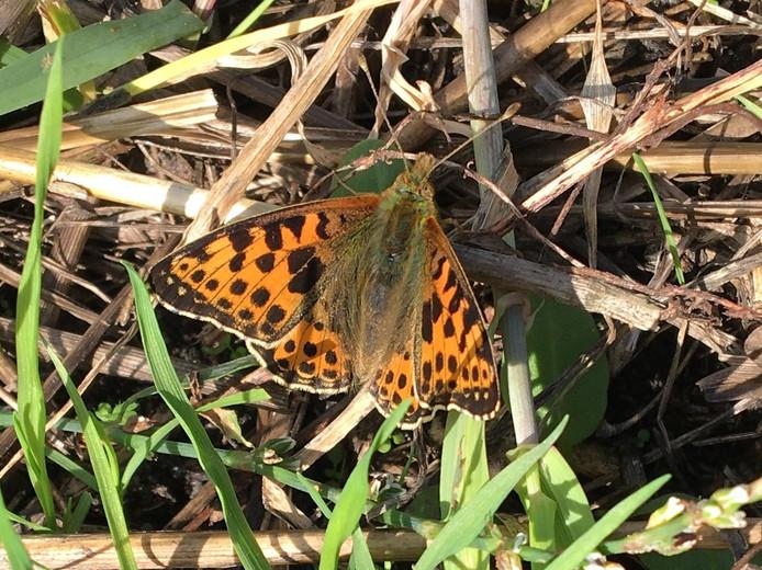 Het is hem echt: de kleine parelmoervlinder op de Sprengenberg in Haarle. De gedachte is dat het diertje door de toenemende warmte steeds verder het binnenland intrekt.