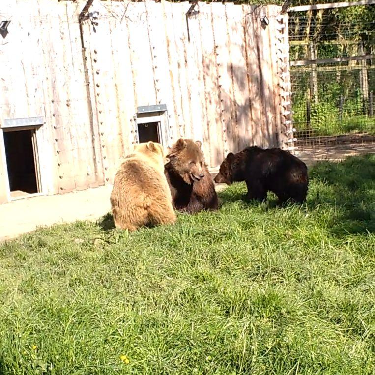 De drie beren in De Zonnegloed hebben voor het eerst samen geravot in hun berenbos.