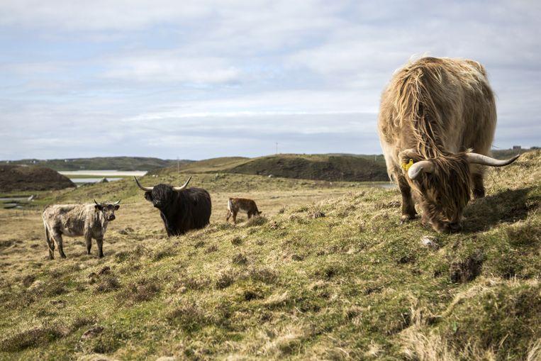 Schotse hooglanders op Skye. Beeld Julius Schrank